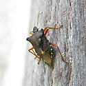 Forest bug (Pentatoma rufipes) on a wooden doorway, Somerset, late August.