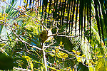 A two toed sloth in the tree at Manuel Antonio National Park, Costa Rica