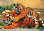 Tiger Play<br /> Colorful French postcard<br /> 5 x 7 in.<br /> Watermark does not appear on product