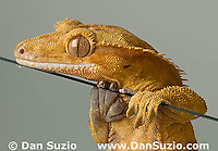 New Caledonian Crested Gecko, Rhacodactylus ciliatus, walking on vertical pane of glass.  Microscopic setae and spatulae on the gecko's feet allow it to walk on almost any surface.  Also called Guichenot's Giant Gecko or Eyelash Gecko.  Endemic to New Caledonia in the South Pacific, the crested gecko was thought extinct until it was rediscovered in 1994.  It is now one of the most commonly kept species of gecko in captivity.  .
