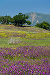 Oak Trees and Spring purple and yellow wildflowers bloom in green hills near Ojai, California