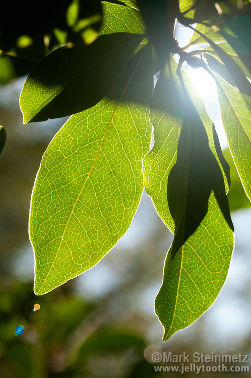 Backlit leaves of a Jane Magnolia cultivar with lens flare from direct sunlight, an illustration of photosynthesis in action