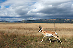 A pronghorn looks for a fence crossing.