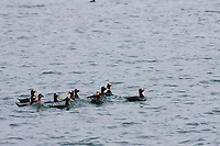 Surf scoters, Prince William Sound, southcentral, Alaska