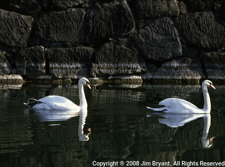 Swans swim in a moat under the Niju-Bashi, Double Bridge, on the Imperial Palace grounds in Tokyo, Japan. The Imperial Palace grounds are the site of Edo Castle, founded in the 15th century. The present Imperial Castle, situated almost in the center of Tokyo's vast urban area, was burnt down and destroyed during the Tokyo fire bombings by American bombers during World War II. A new 4,000 square meter, one-story  palace was rebuilt in 1968. (Jim Bryant Photo).....
