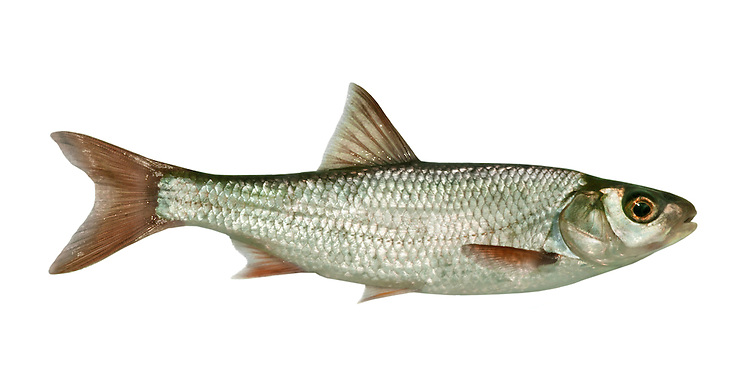 Dace Leuciscus leuciscus Length 15-25cm <br /> The Dace is a streamlined, shoaling fish that is superficially similar to, but smaller than, a Chub: size and body colour are useful in identification. Adult has a silvery green body, darkest above and palest below. The dorsal and tail fins are dark while other fins are red. The Dace is locally common in lowland rivers and streams.
