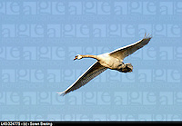 Flying swan (mute swan, Cygnus olor) on a background of the blue sky. Flying swan Mute swan, Cygnus olor) on  the blue sky