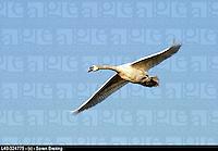 Flying swan (mute swan, Cygnus olor) on a background of the blue sky. Flying swan Mute swan, Cygnus olor) on  the blue sky