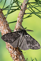 Nonne, Nonnenspinner, Nonnen-Spinner, Männchen, Lymantria monacha, black arches, nun moth, male, la Nonne, Noctuidae, Eulenfalter, Lymantriinae, Trägspinner, Schadspinner