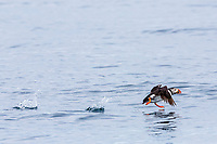 Atlantic puffin, or common puffin, Fratercula arctica, flying, Vaeroya, Norway, Atlantic Ocean