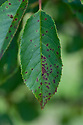 "Leaf spot on cherry, mid August. Small brown spots appear on leaves and can turn into round, so-called ""shot-holes"". Foliage may turn yellow and wither. A fungal infection may be responsible, or possibly bacterial canker if bark also dies and orange gum oozes from flat, sunken patches."