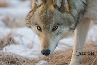 Wild Wolf photos from Yellowstone National Park