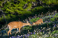 Columbian black-tailed deer (Odocoileus hemionus columbianus) doe greeting her young fawns among wildflowers--lupine and bistort in subalpine meadow.  Pacific Northwest.  Summer.