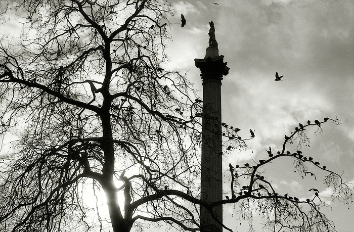 Pigeons roost in a London Plane tree by Nelson's Column in Trafalgar Square. London 1997.