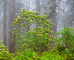Redwood National Park, CA:  Flowering Pacific rhododendron (R. macrophyllum) in Redwood forest understory in fog