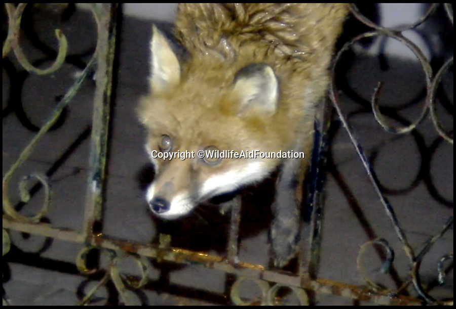 BNPS.co.uk (01202 558833)<br /> Pic: WAF/BNPS<br /> <br /> Hanging around - A not-so wiley fox was left red-faced when it got stuck in a garden gate in Reigate, Surrey this week and had to be rescued.<br /> <br /> The sheepish mammal was unable to free itself after trying to jump between the metal bars in the gate and getting its hips stuck.<br /> <br /> The adult male fox was left awkwardly dangling for about an hour before volunteers from the Wildlife Aid Foundation safely pushed it out.