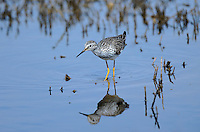 598250002 a wild lesser yellowlegs shorebird tringa flavipes forages in a small pond in ventura county california united states