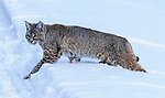 Red Lowland Bobcat walking uphill near Madison River, Yellowstone National Park