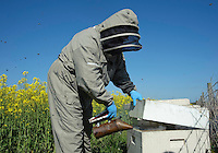 A beekeeper smoking a bee hive at the side of an oilseed rape field at the rate of three quarters of an acre per hive..Lancashire.