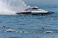 13-14 June, 2009, APBA Inboards, Walled Lake, Novi, MI. USA.The swans had the best seat in the house for spectating..©F. Peirce Williams 2009 USA.F.Peirce Williams.photography.ref: RAW (.NEF) File Available