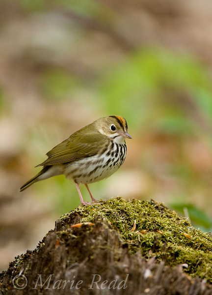 Ovenbird (Seiurus aurocapillus), on a log on the forest floor in spring, Dryden, New York, USA