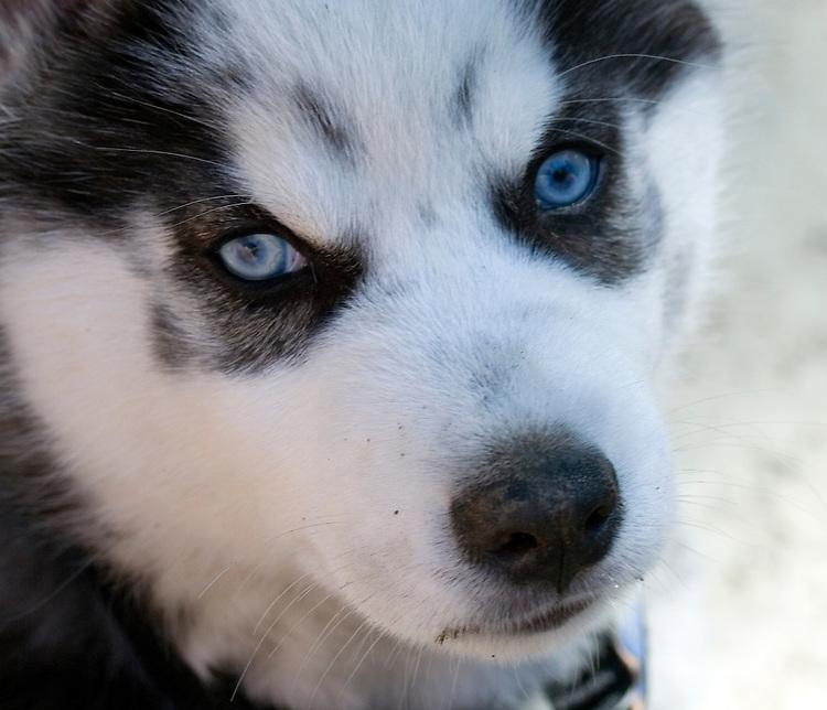 Ivan, a male 8-week old Siberian Husky puppy.