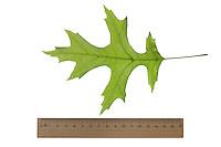 Scharlach-Eiche, Scharlacheiche, Quercus coccinea, scarlet oak, Le chêne écarlate. Blatt, Blätter, leaf, leaves