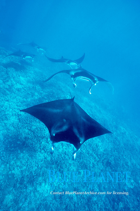 reef manta rays, Manta alfredi, swim over reef ( possibly courtship behavior ), West Maui, Hawaii, Pacific Ocean
