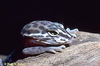 1R11-002a  Banded Gecko - close-up of head, found in southwest deserts - Coleonyx variegatus