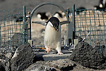 An Adelie Penguin crosses the weighbridge at Cape Royds, Antarctica, recording its weight, identity, time of day, and whether it crossed in or out.