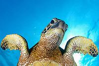green sea turtle, Chelonia mydas, honu, Kona, Hawaii, Pacific Ocean