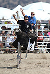 From left, Brade and Shorty compete in an emu race at the 56th annual International Camel &amp; Ostrich Races in Virginia City, Nev. on Friday, Sept. 11, 2015. <br /> Photo by Cathleen Allison