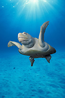 Kemp's ridley sea turtle, Lepidochelys kempii, Gulf of Mexico, Caribbean Sea, Atlantic Ocean (c) (dc)