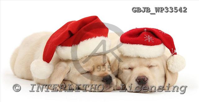 Kim, CHRISTMAS ANIMALS, photos+++++,GBJBWP33542,#xa# stickers