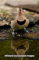 01193-013.03 Northern Flicker (Colaptes auratus) female at water, Marion Co. IL