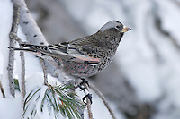 Adult male non-breeding<br /> Bernalillo Co., NM<br /> December 2007