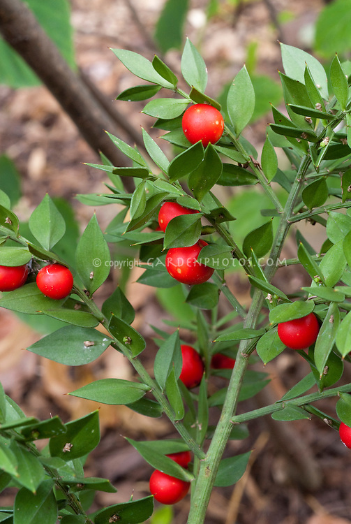 Ruscus aculeatus Wheeler's Variety in red berries fruit in autumn fall