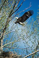 Bald Eagle landing in cottonwood tree.  Pacific Northwest.  Spring.