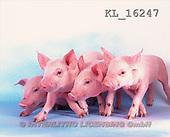 Interlitho, Alberto, ANIMALS, pigs, photos, 4 piglets(KL16247,#A#) Schweine, cerdos