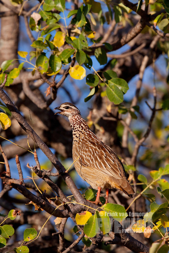 Crested Francolin (Francolinus Sephaena)..In a tree, on alert, calling as a warning when predators are near..June 2009, winter..Balule Private Nature Reserve, York section..Greater Kruger National Park, Limpopo, South Africa.