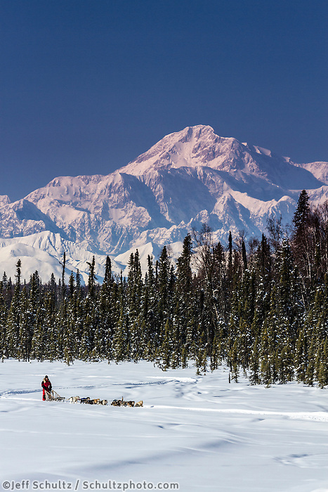 Dog musher Martin Buser runs his team during a spring training run on a lake with Mt. Mckinley and Alaska Range in the background.   Southcentral, Alaska<br />
