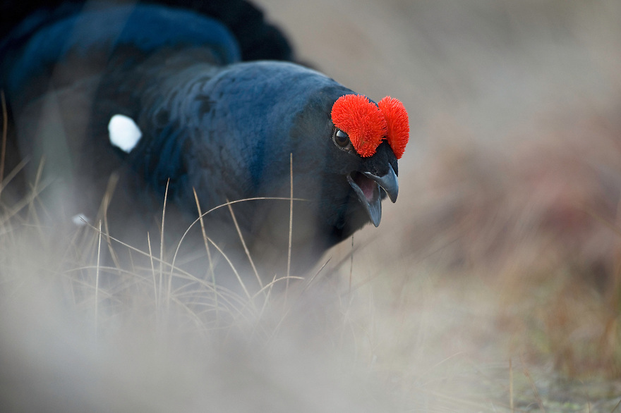 13.04.2009.Black Grouse (Tetrao tetrix) displaying on a bog. Lekking behaviour. Courting. .Bergslagen, Sweden.