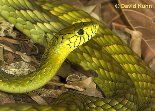 0423-1117  Western Green Mamba (West African Green Mamba), Dendroaspis viridis  © David Kuhn/Dwight Kuhn Photography