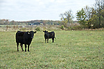 Kentucky Black Angus Cattle
