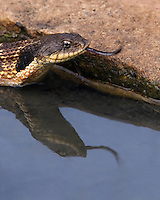 Puff Adder moving through the water, looking for a toad or frog to eat. An upturned, shovel-like nose best distinguishes the species.