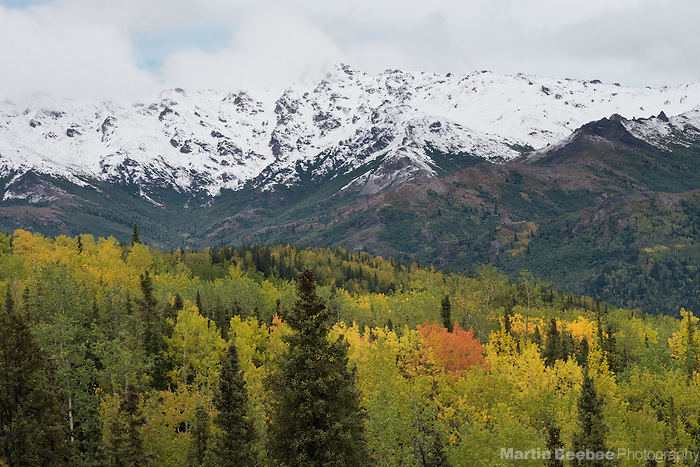 Snow-covered mountains above autumn aspen forest, fall, Denali National Park, Alaska