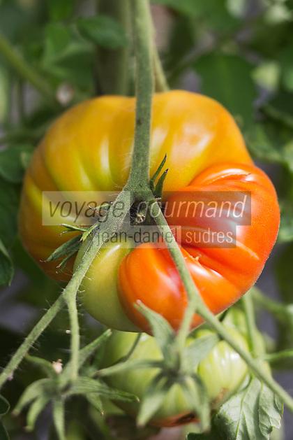 Europe/France/Aquitaine/47/Lot-et-Garonne/Fongrave: Tomate Coeur de Boeuf, chez Elodie Chauvel, agricultrive en agriculture raisonnée à la Ferme des Tuileries