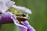 Pacific treefrog (Pacific chorus frog), Hyla regilla (Pseudacris regilla), on iris flower