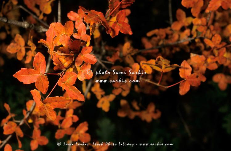 Colorful autumn leaves, Sainte-Baume, Provence, France.