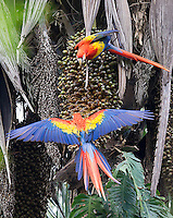 Scarlet macaws feed on palm nuts.